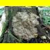 Мицелий Мейтаке / Грифола курчавая ( Grifola frondosa)