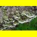 Мицелий Церрены одноцветной (Cerrena unicolor)