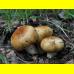 Мицелий Валуя / Бычок (Russula foetens)