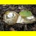 Мицелий Веселки обыкновенной (Phallus impudicus)