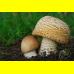 Мицелий Шампиньона августовского (Agaricus augustus)