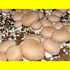 Мицелий Шампиньона королевского (Agaricus bisporus)