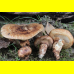 Мицелий Мацутакэ (Tricholoma matsutake)