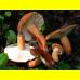 Мицелий Подмолочника / Груздь красно-коричневый (Lactarius volemus)